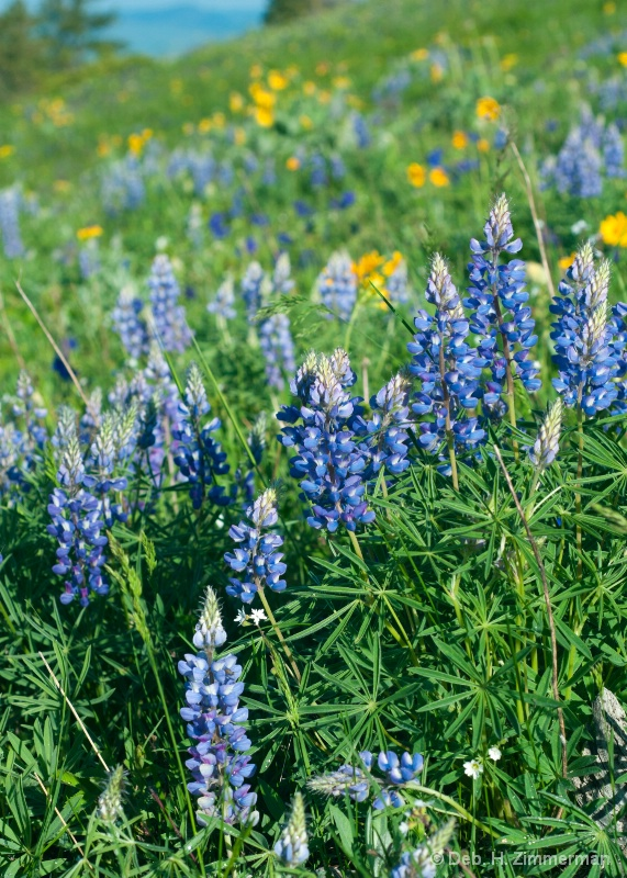 Blue Lupine up to the Ridge