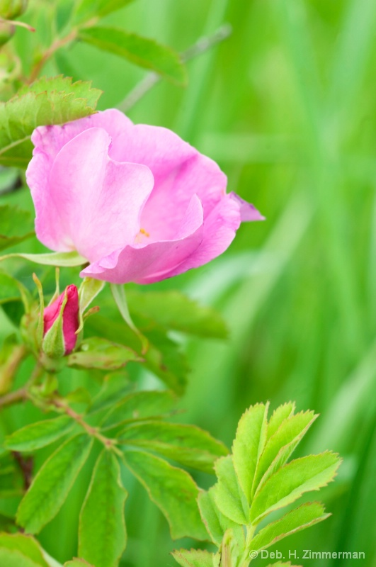 the Wild Rose-bloom and bud