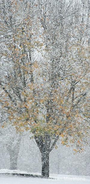 Snow Tree 4293