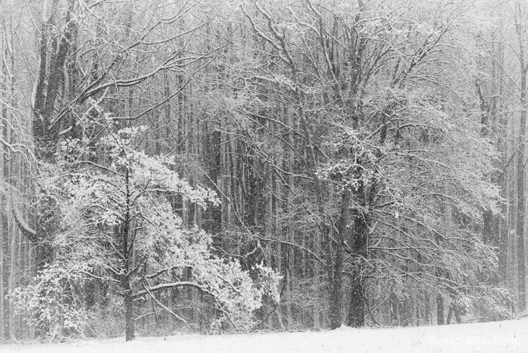 Snow Trees B&W 4327