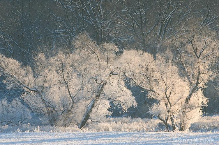 Ice Trees 1784