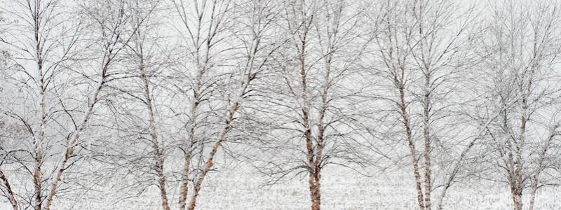 Snow Trees 4258