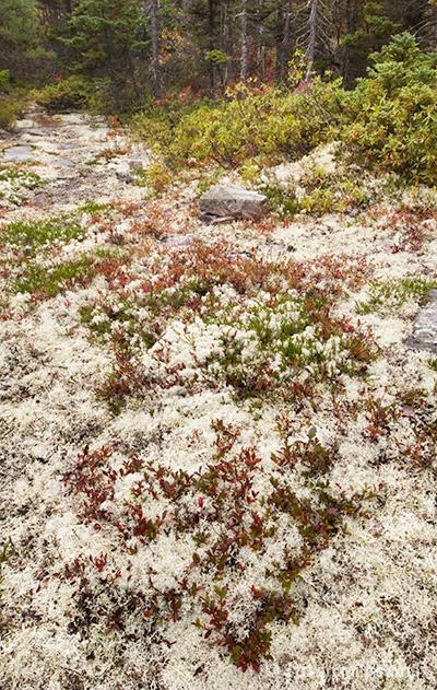 Lichen Acadia NP 2486