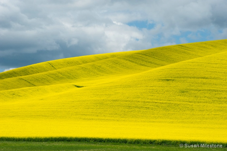 Yellow Field Palouse 2234