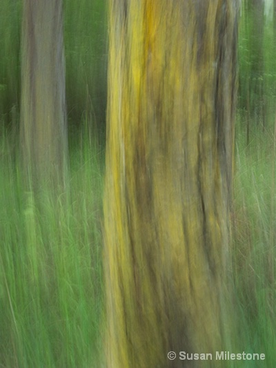Yellow Lichen on Tree Swipe 1955