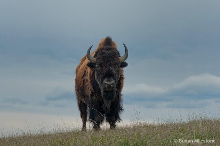 Buffalo 0002