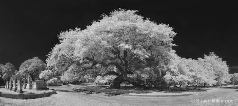 Live Oak Magnolia Cemetery IR Pan