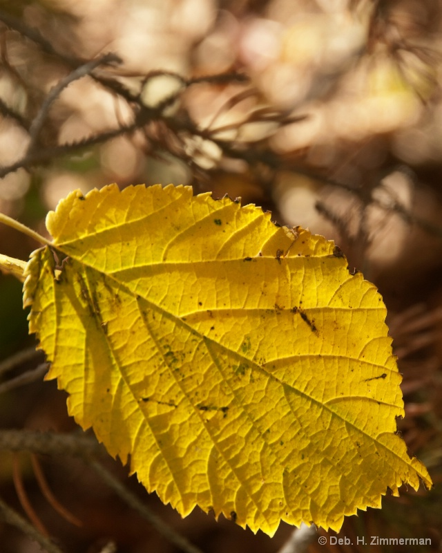 Backlit aspen leaf