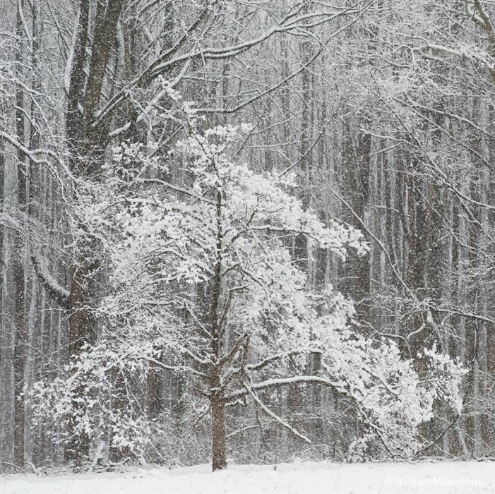 Snow Tree 4323