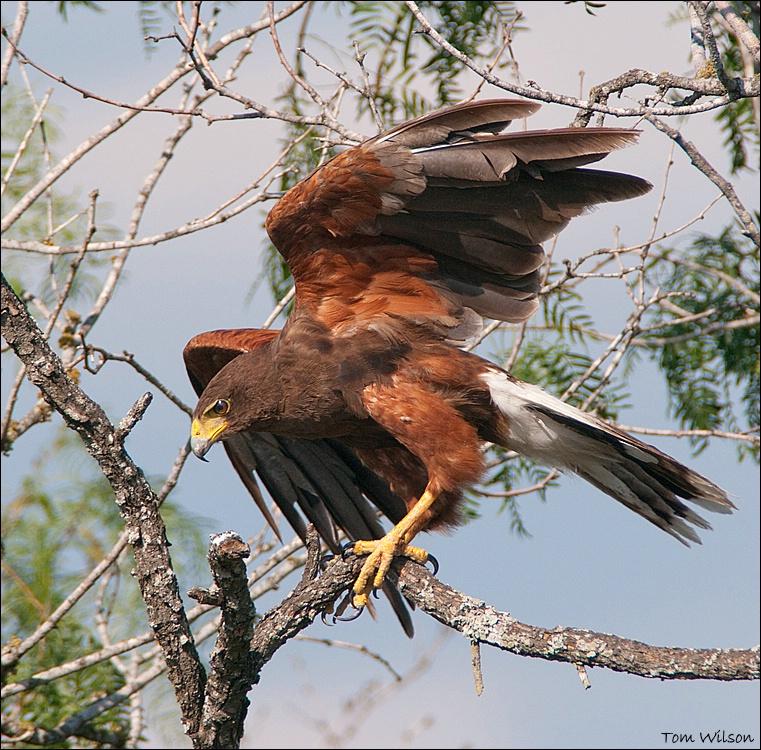 Harris' s Hawk