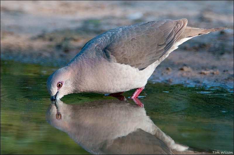 White-tipped Dove Drinking