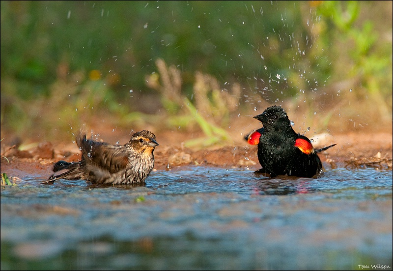 Red-winged Blackbirds bathing