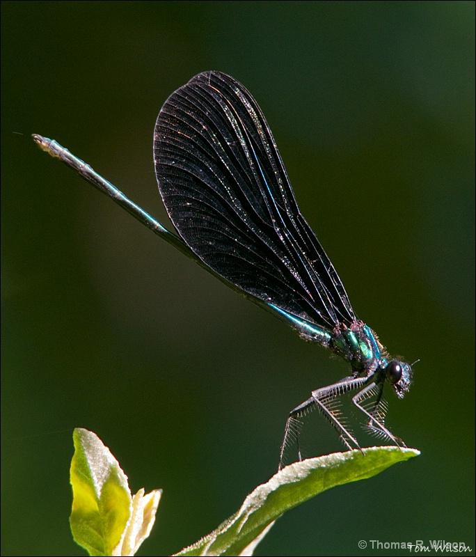 Male Ebony Jewelwing Damselfly