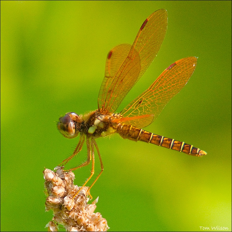 Male Eastern Amberwing