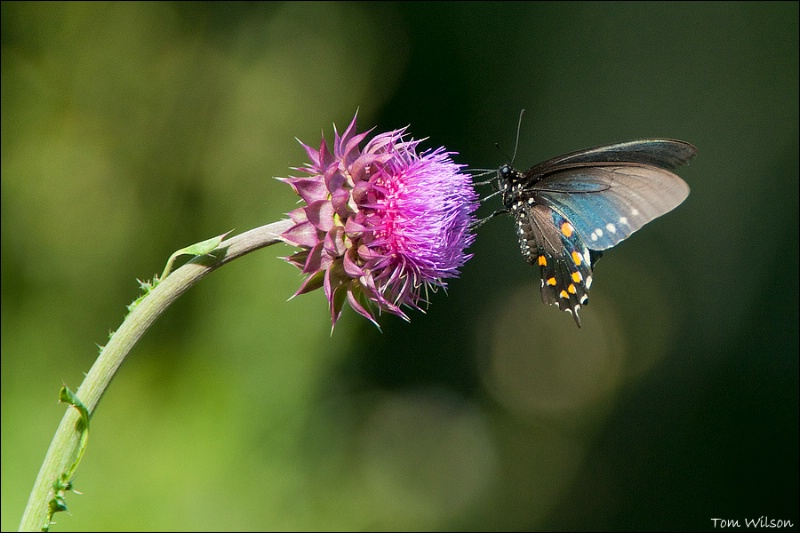 Pipevine Swallowtail on Thistle