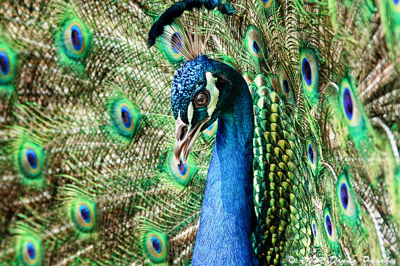 Determined Peacock