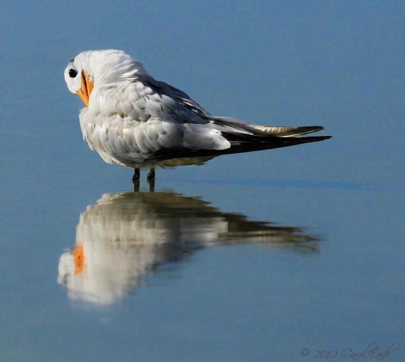 Royal Tern, Marco Island