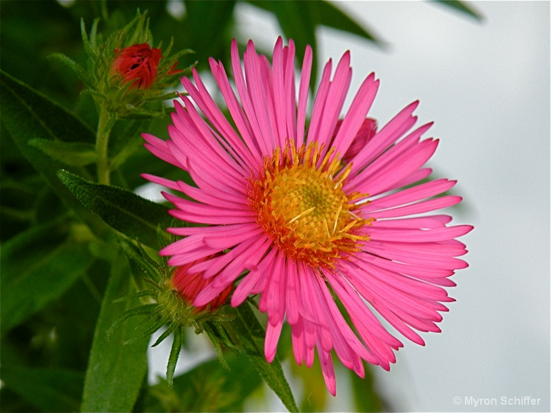 Bright Aster