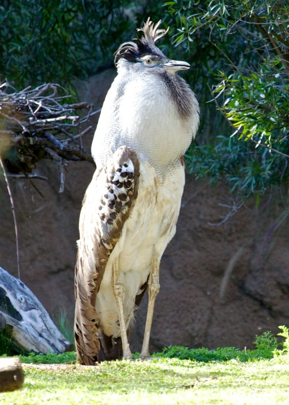 Kori Bustard (male) showing off