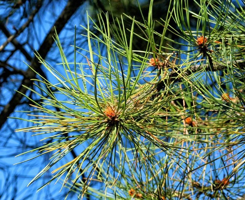 Ponderosa Pine Closeup
