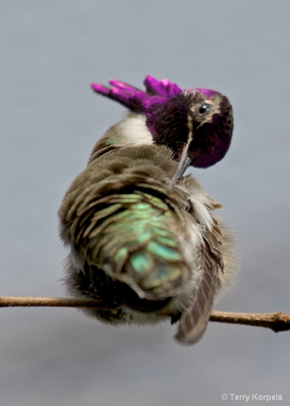 Hummer    Preening Time