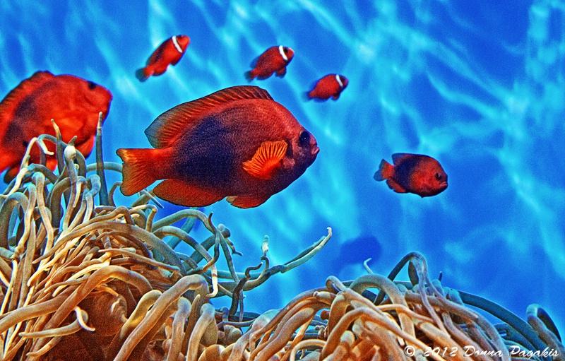 Life Among the Sea Anemone