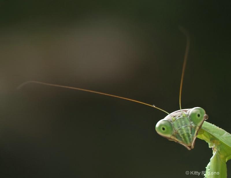 Praying Mantis with Drop of Water