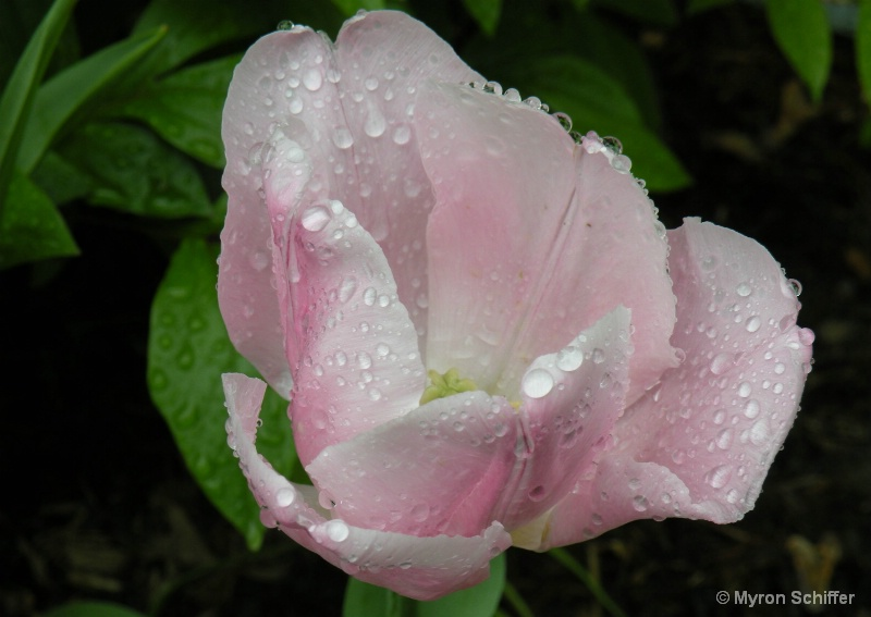 Dew Kissed Tulip No. 4