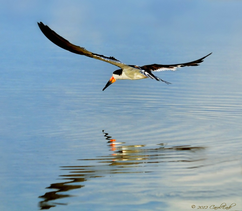 Black Skimmer In Flight, Marco Island