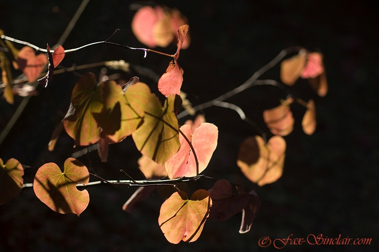 Red Leaves in the Morning