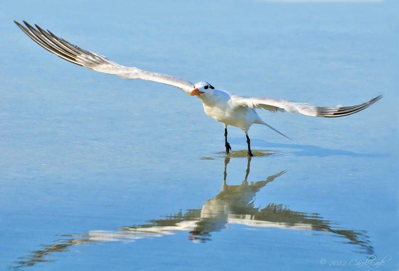 Royal Tern Takes Flight