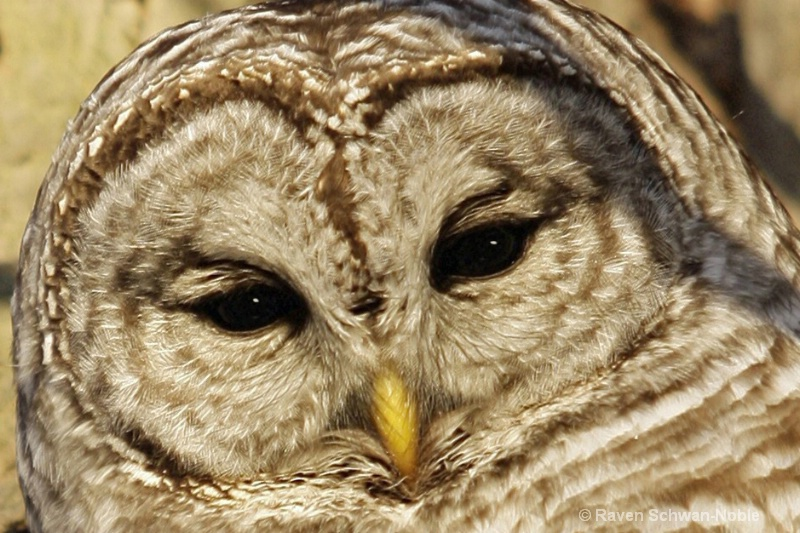 Soul of a Barred Owl