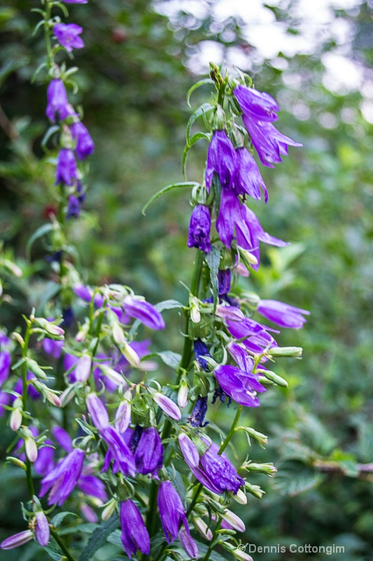 Rover bellflower (Campanula rapunculoides)