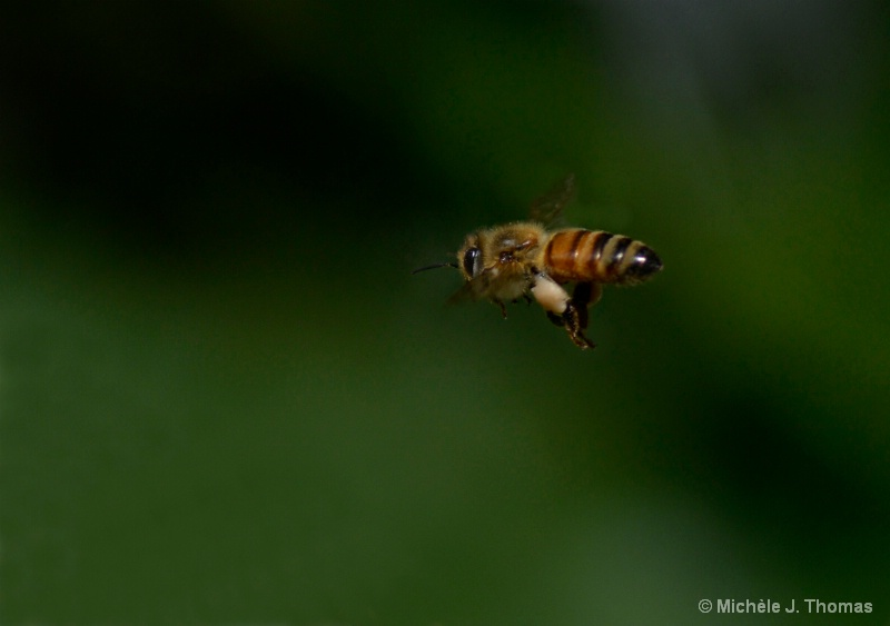 A Bee, Caught In Flight, With His Pollen !