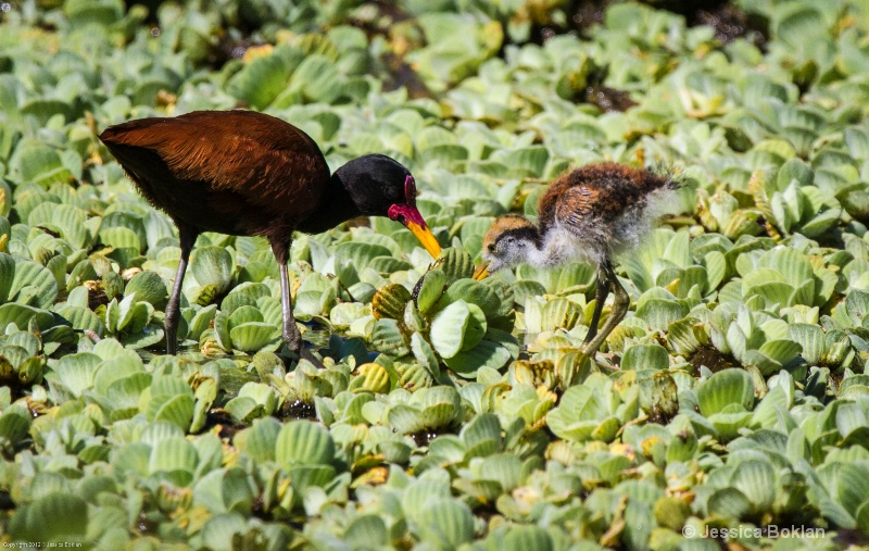 Wooded Jacana with Chick