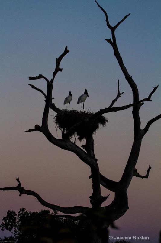 Jabiru Nest at Sunset