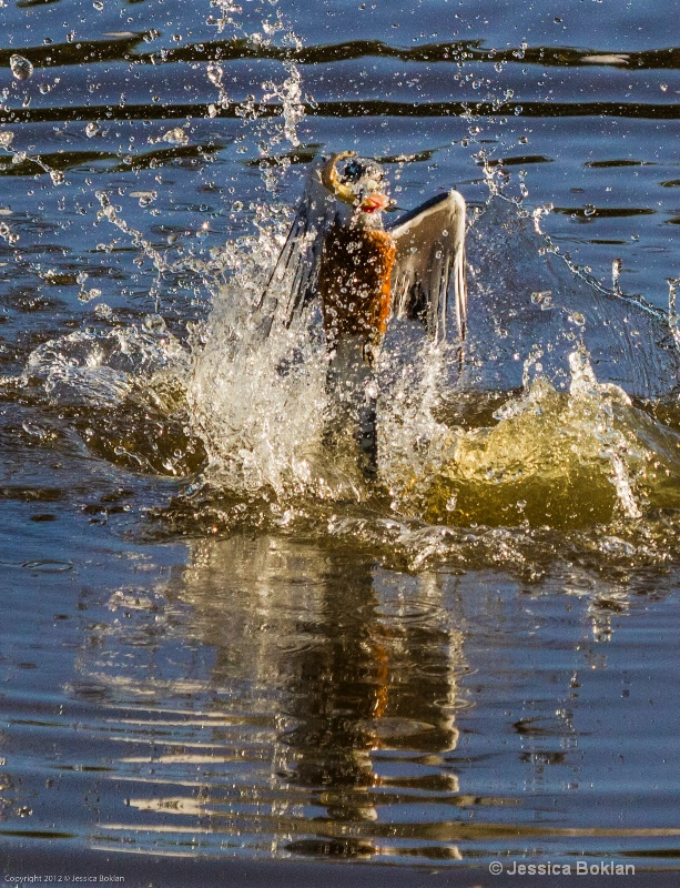 Ringed Kingfisher Fishing