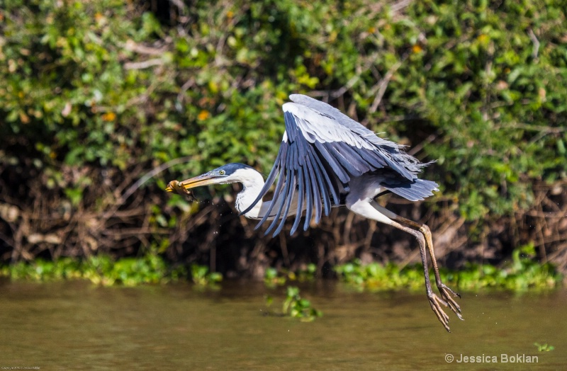 White-necked Heron with Fish