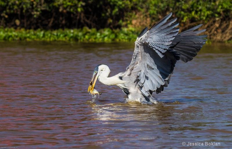 White-necked Heron Fishing