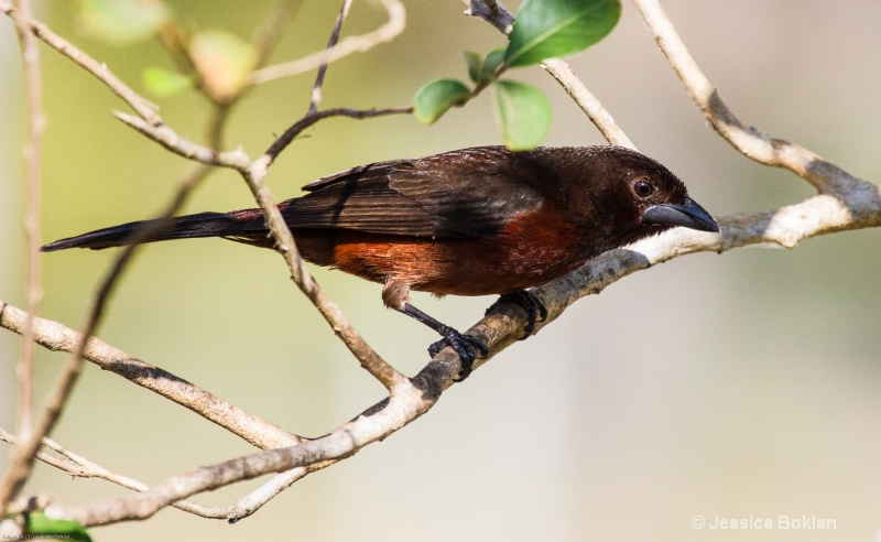 Silver-beaked Tanager (Female)
