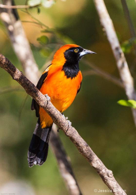 Orange-backed Oriole