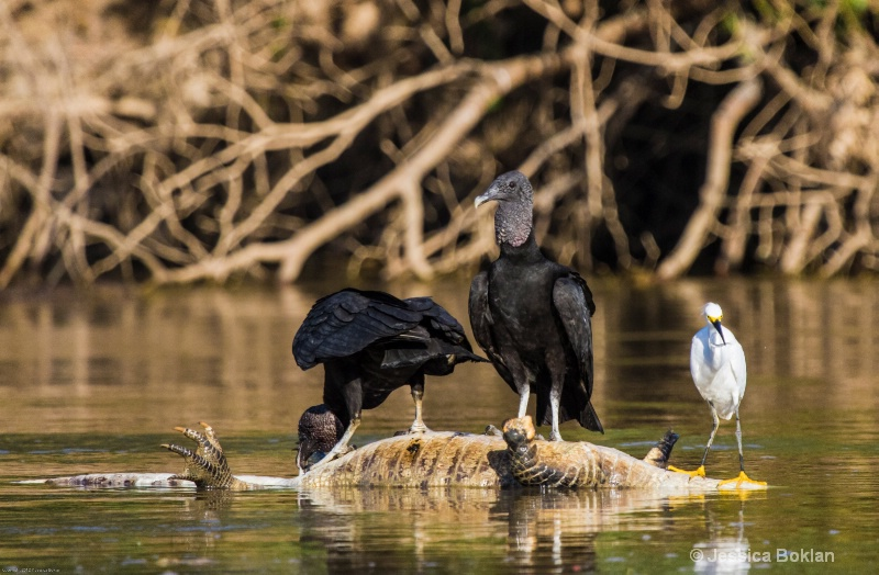 Black Vultures and Snowy Egret atop Caiman Carcass
