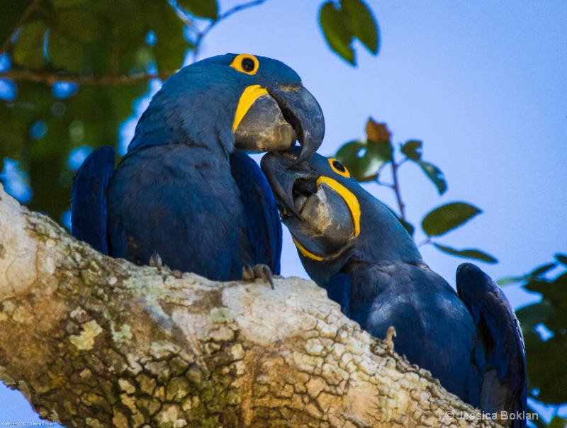 Hyacinth Macaw Parent with Chick