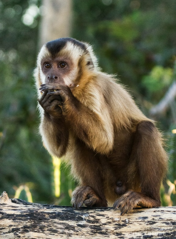 Young Brown Capuchin Monkey