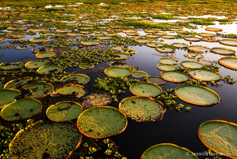 Giant Victorian Water Lilies