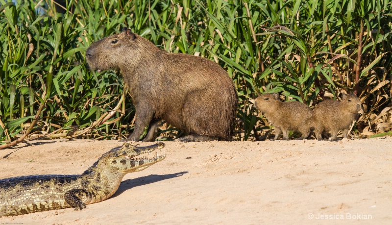 Capybara Family with Caiman