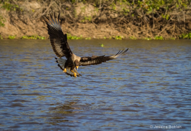 Crested Caracara Fishing