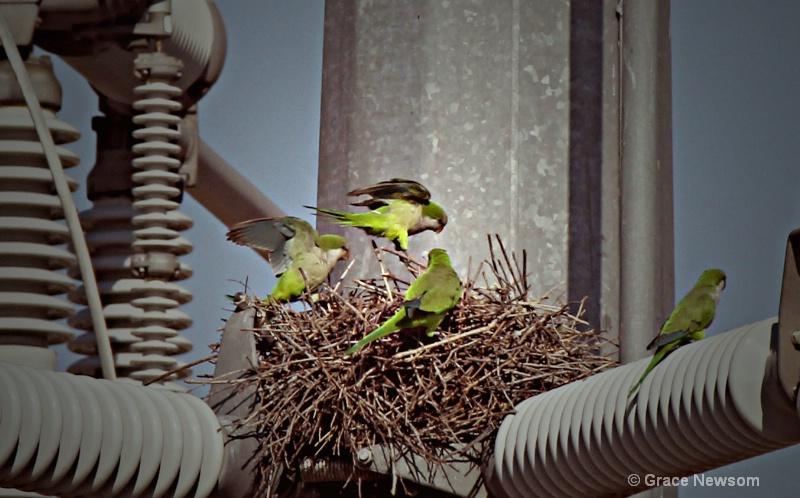 Nesting in Suburbia