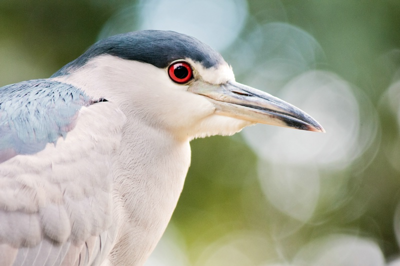 Night Heron Visiting National Zoo