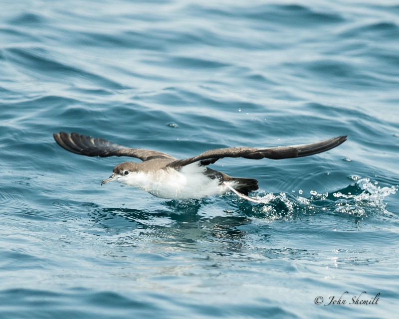 Audubon Shearwater - Aug. 17th, 2012